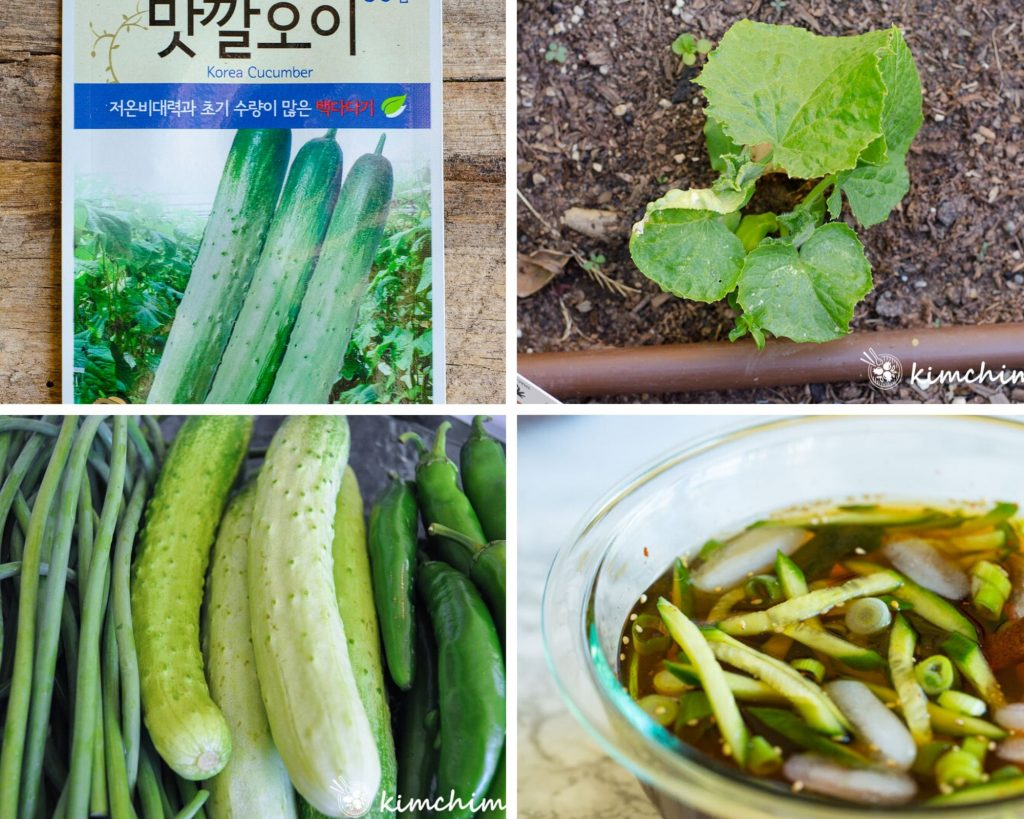 Korean cucumber seed packet, seedlings and cold soup made with it