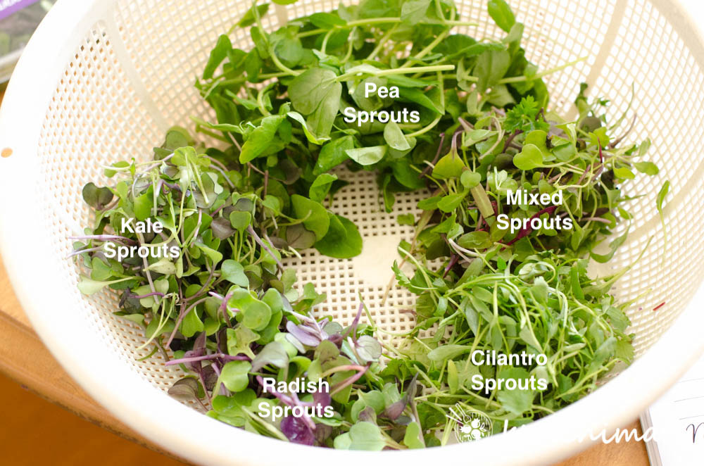 5 different microgreens - pea sprouts, mixed, cilantro, radish and kale sprouts in white mesh basket