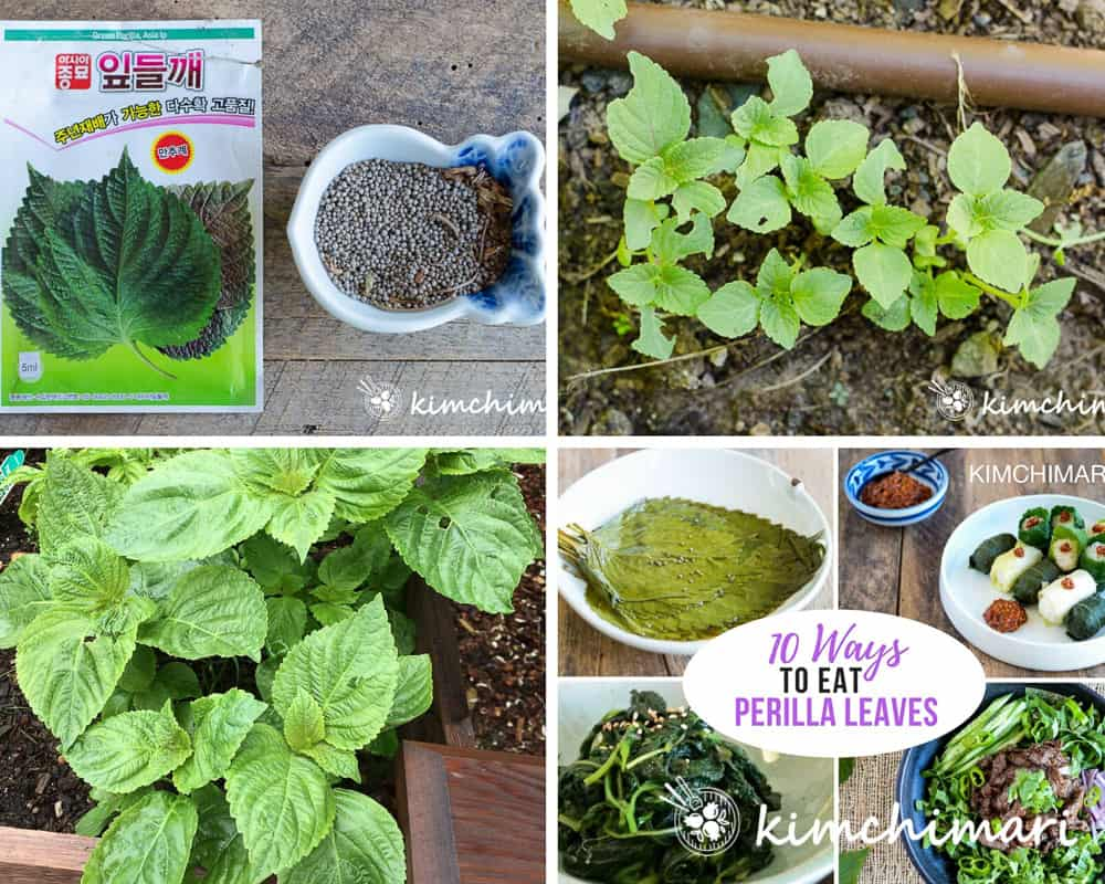 collage image of perilla seeds, sprouts, plant and dishes made with it